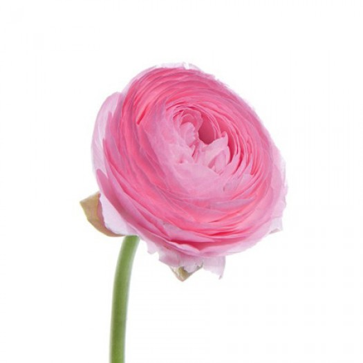 Ранункулус розовый