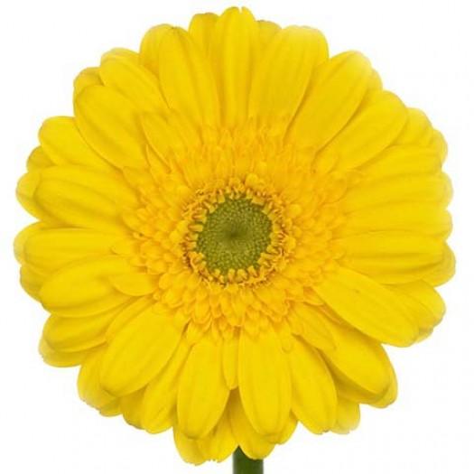 Гербера желтая