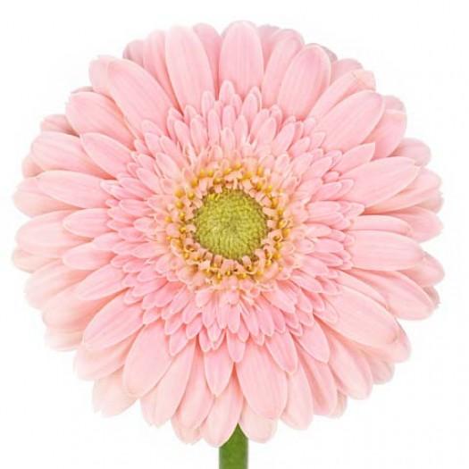 Гербера нежно-розовая