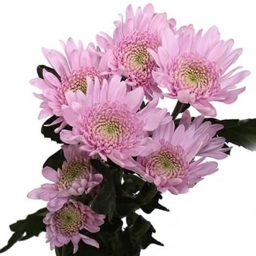 Хризантема кустовая оптимист