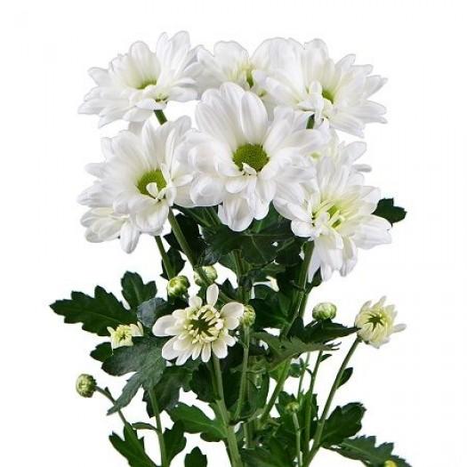 Хризантема ромашковая белая