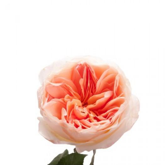 Роза кустовая пионовидная juliet