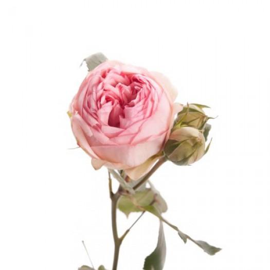 Роза кустовая пионовидная light pink piano