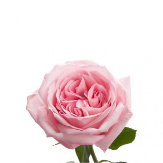 Роза кустовая пионовидная ohara