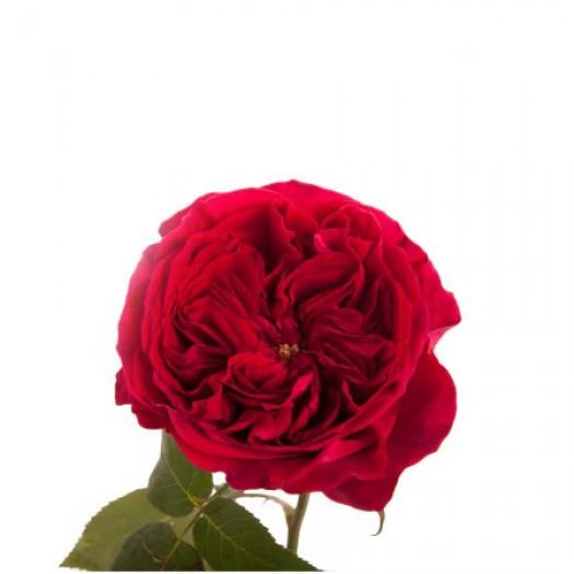 Роза кустовая пионовидная tess