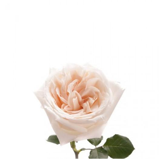 Роза кустовая пионовидная white ohara
