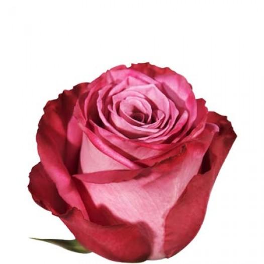 Роза deep purple