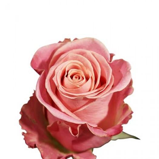 Роза hermoza