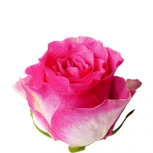 Роза malibu