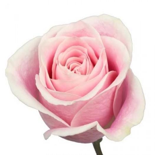 Роза rosita vendela