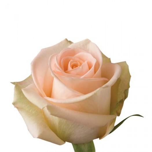 Роза tiffany