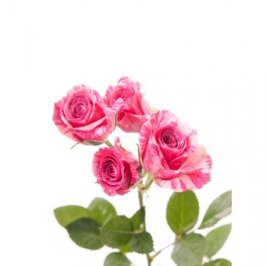 Роза кустовая розово-кремовая