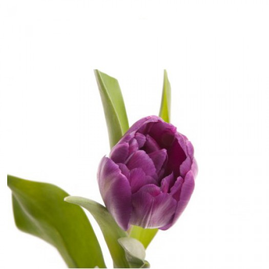 Тюльпан фиолетовй дабл