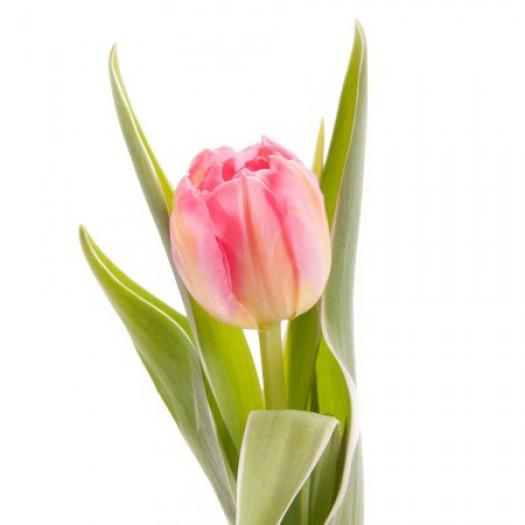 Тюльпан розовый дабл