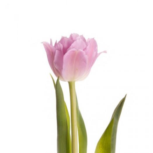 Тюльпан сиреневый дабл